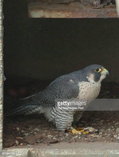 April 12, 2006 Slug: me-falcons sassignment Woodrow Wilson Bridge at span olpening Photographer: Gerald Martineau peregrine falcons & nest We...