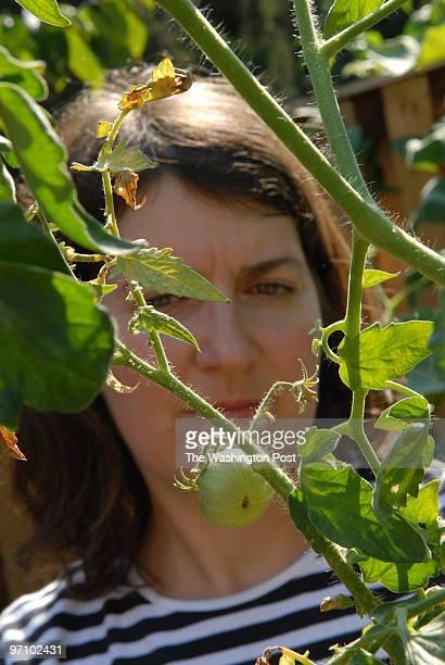 Aug 24 2006 Slug hotomato31 assignment Photographer Gerald Martineau residence Arlington 2324 NPowaan lady's shriveled tomato plants for Higgins We...