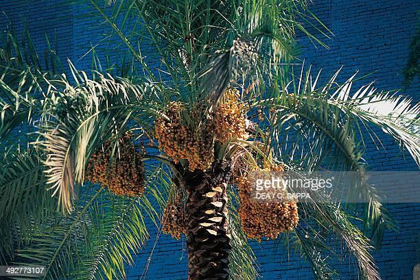 Date Palm Arecaceae Kish Iran