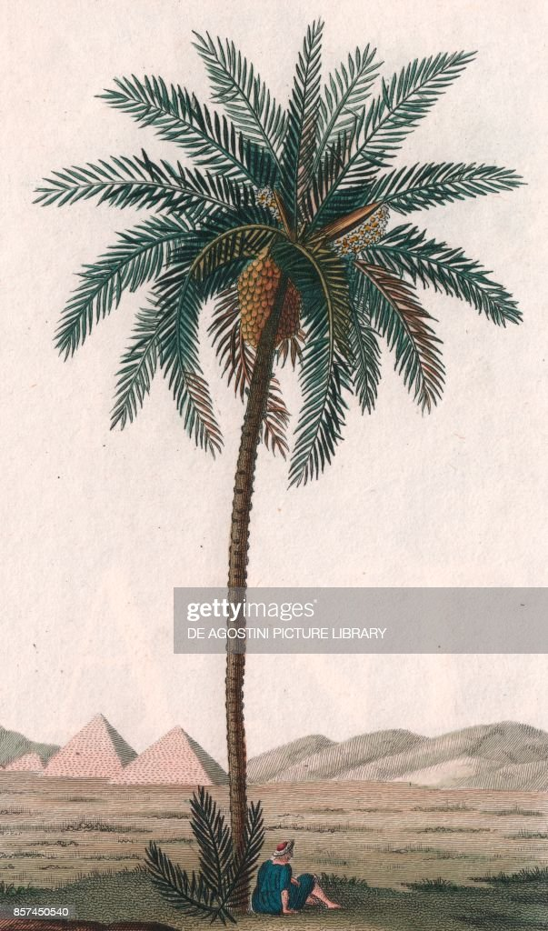 Date palm (Phoenix dactylifera), color copper engraving, retouched in watercolor, 9x15 cm : News Photo