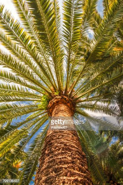 date palm phoenix canariensis - date palm tree stock pictures, royalty-free photos & images