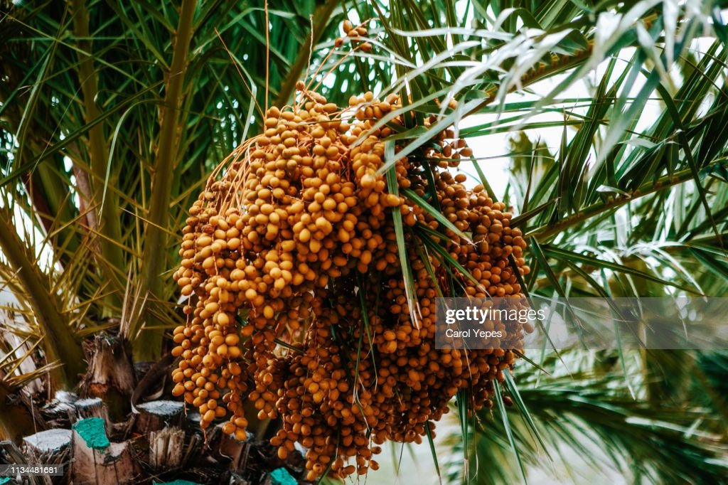 date palm : Stock Photo
