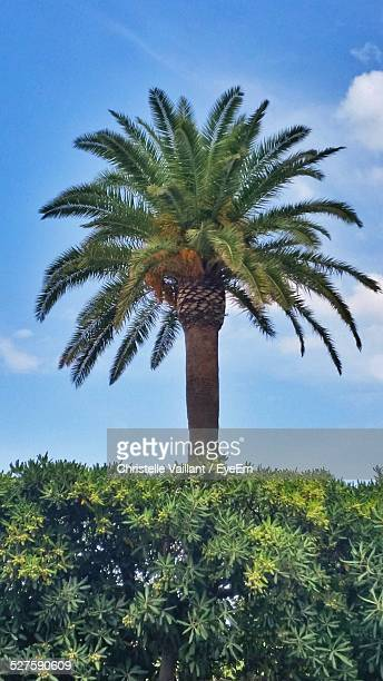 date palm tree against blue sky - date palm tree stock pictures, royalty-free photos & images