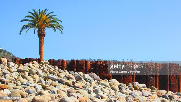 date palm tree at shore against clear blue sky - date palm tree stock pictures, royalty-free photos & images