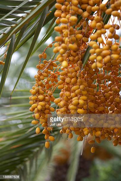 date palm tree (phoenix dactylifera) - date palm tree stock pictures, royalty-free photos & images