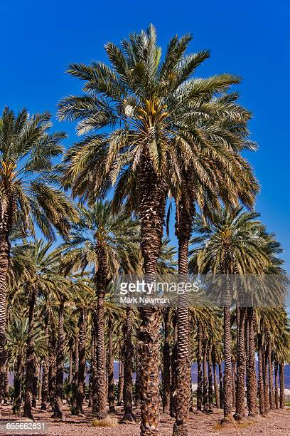 date palm tree plantation - date palm tree - fotografias e filmes do acervo