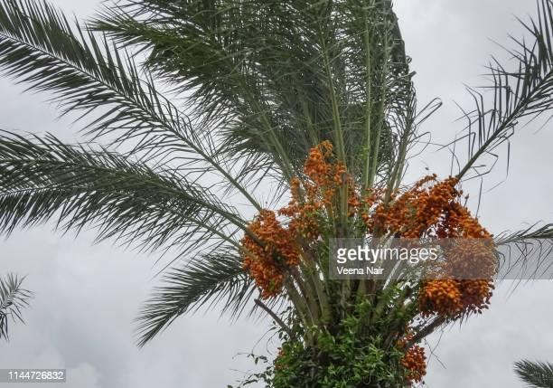 date palm tree with dates - date palm tree - fotografias e filmes do acervo