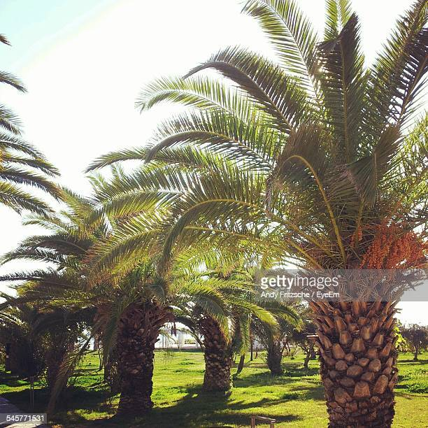 date palm trees against clear sky - date palm tree stock pictures, royalty-free photos & images