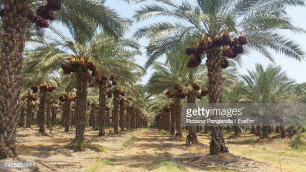date palm trees against sky at farm - date palm tree stock pictures, royalty-free photos & images