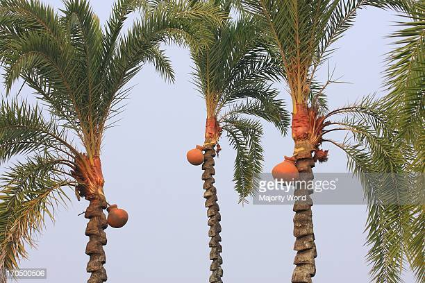Date palm trees at a village in Jessore Bangladesh During winter tree climbers locally known as gaachi peal the skin of the tree on top and tie an...