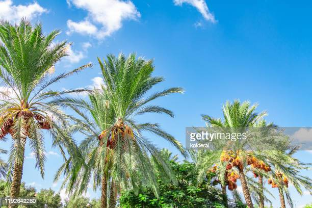 date palms against blue sky - date palm tree stock pictures, royalty-free photos & images