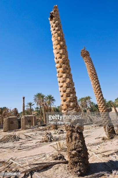 date palms dying, palm grove in ibri - arid stock pictures, royalty-free photos & images