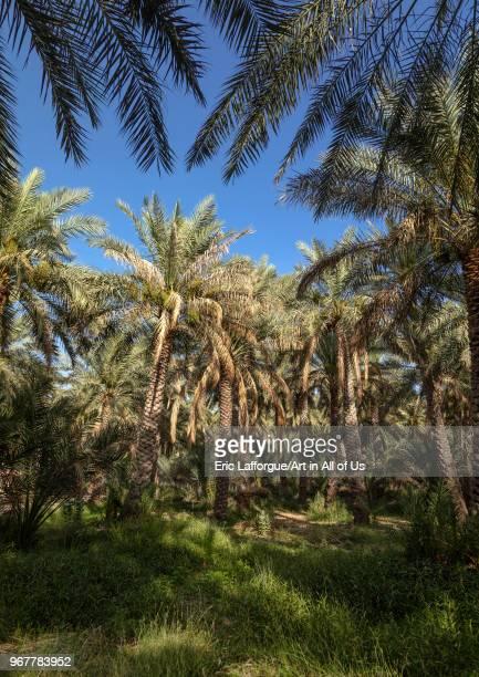 Date palms in an oasis Ad Dakhiliyah Region Al Hamra Oman on May 10 2018 in Al Hamra Oman