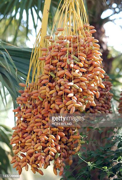 Date palms in an Oasis in Tozeur 29 August 2006 southern Tunisia AFP PHOTO/FETHI BELAID