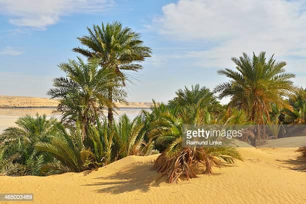 date palms in the desert - date palm tree - fotografias e filmes do acervo