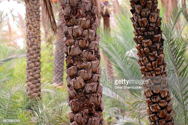 date palm's trunk - tree trunk stock pictures, royalty-free photos & images