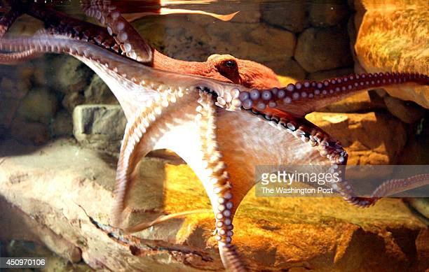 Joe Elbert LOCATION National Zoo SLUGPHInvertibrates Zoo Tales 4 The National Zoos giant Pacific octopus explores its tank at the Invertebrate...