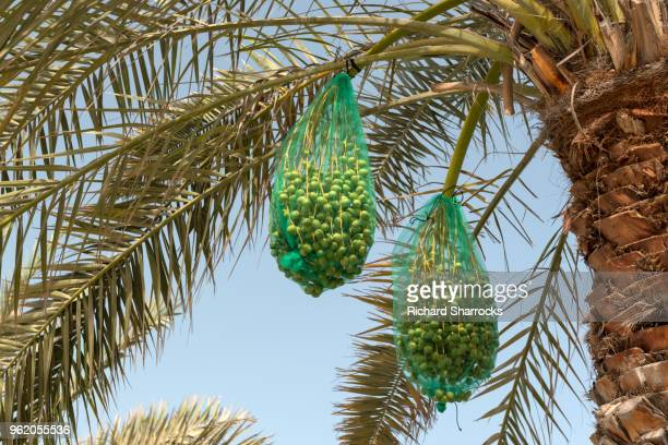 dates and palm tree - date palm tree stock pictures, royalty-free photos & images