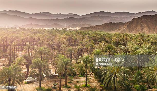 dates farm in al bidiya - date palm tree stock pictures, royalty-free photos & images