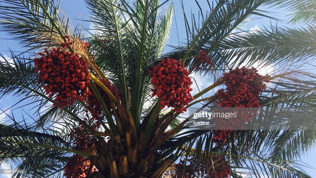 Dates Growing On Palm Tree : Stock Photo
