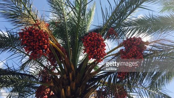 dates growing on palm tree - date palm tree stock pictures, royalty-free photos & images