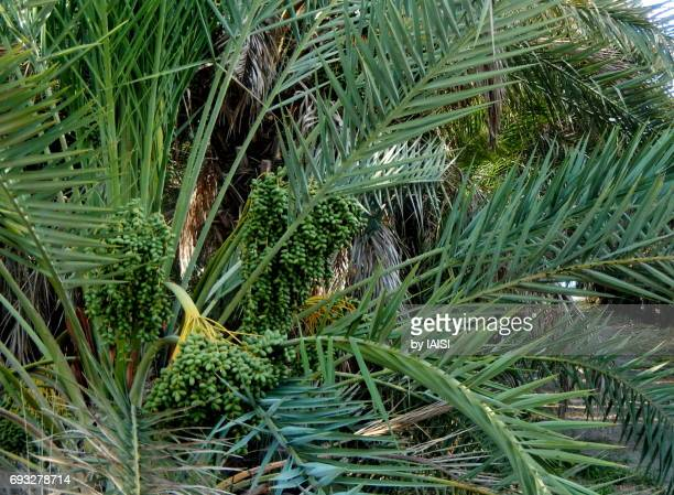 dates in the palm orchard, unripe - date palm tree stock pictures, royalty-free photos & images