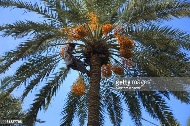 dates palm harvesting - date palm tree stock pictures, royalty-free photos & images