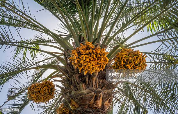 dates palm with dates - date palm tree stock pictures, royalty-free photos & images