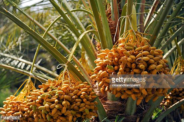 dates - date palm tree stock pictures, royalty-free photos & images