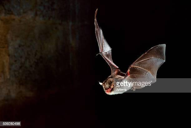 Daubenton's bat in flight and hunting at night.
