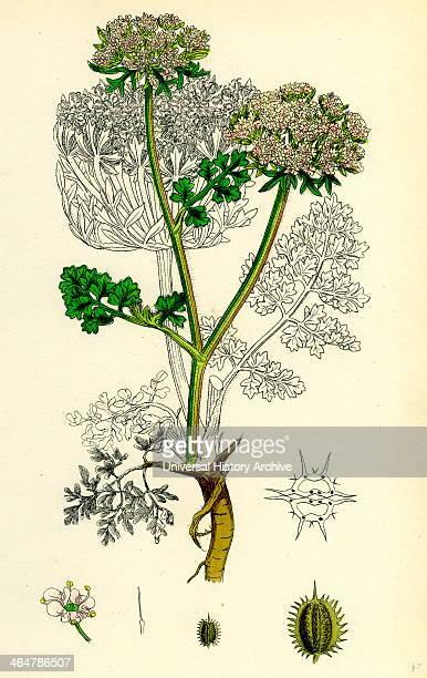 Daucus Carota var gummifer Sea Carrot