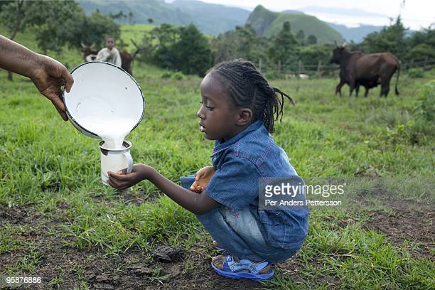 A daughter of Fulani farmer Wakilu Hamidu Haasam age drinks milk just milked from the family cows on August 9 2009 in Sabgu village Cameroon Many...
