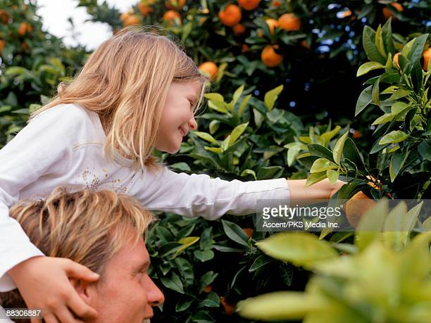 daughter picking oranges in grove with father - orange grove stock photos and pictures