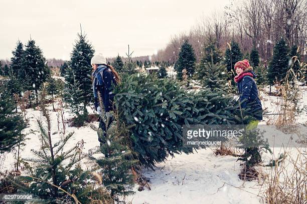 "daughters carrying freshly cut christmas tree outdoors winter. - ""martine doucet"" or martinedoucet stock pictures, royalty-free photos & images"
