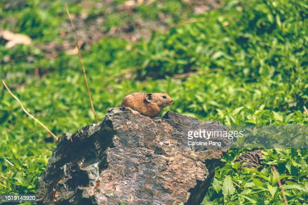 Daurian Pika is found throughout Mongolia. They are related to rabbits and hares.