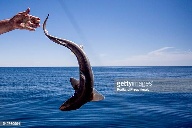 Dave Johnson a professor in the medical school at the University of New England releases a spiny dogfish a species of shark back into the water in...
