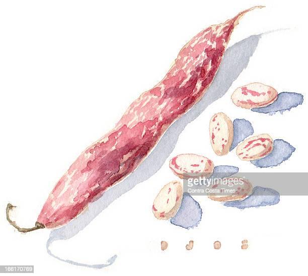 Dave Johnson illustration of cranberry bean