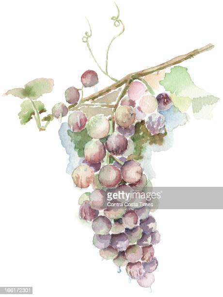 Dave Johnson illustration of red wine grapes