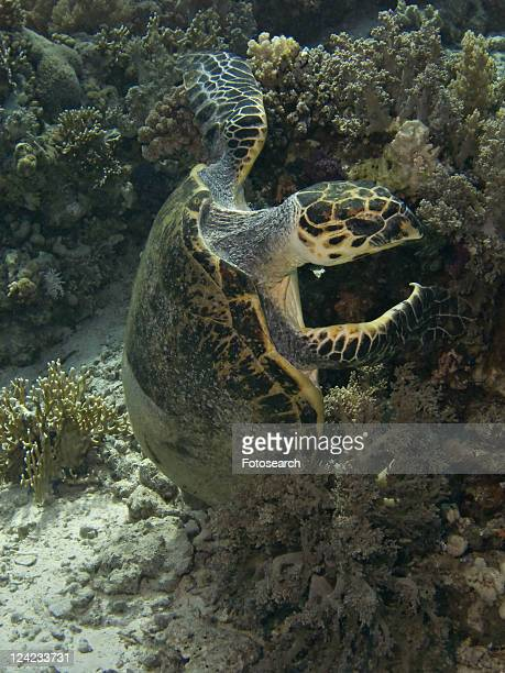 Dave, the famous Hawksbill turtle (Eretmochelys imbricata) from Sharm El Sheikh, rescued after a boat propellor accident, enjoying a meal with his partially fiber cast fixed shell. Critically endanger