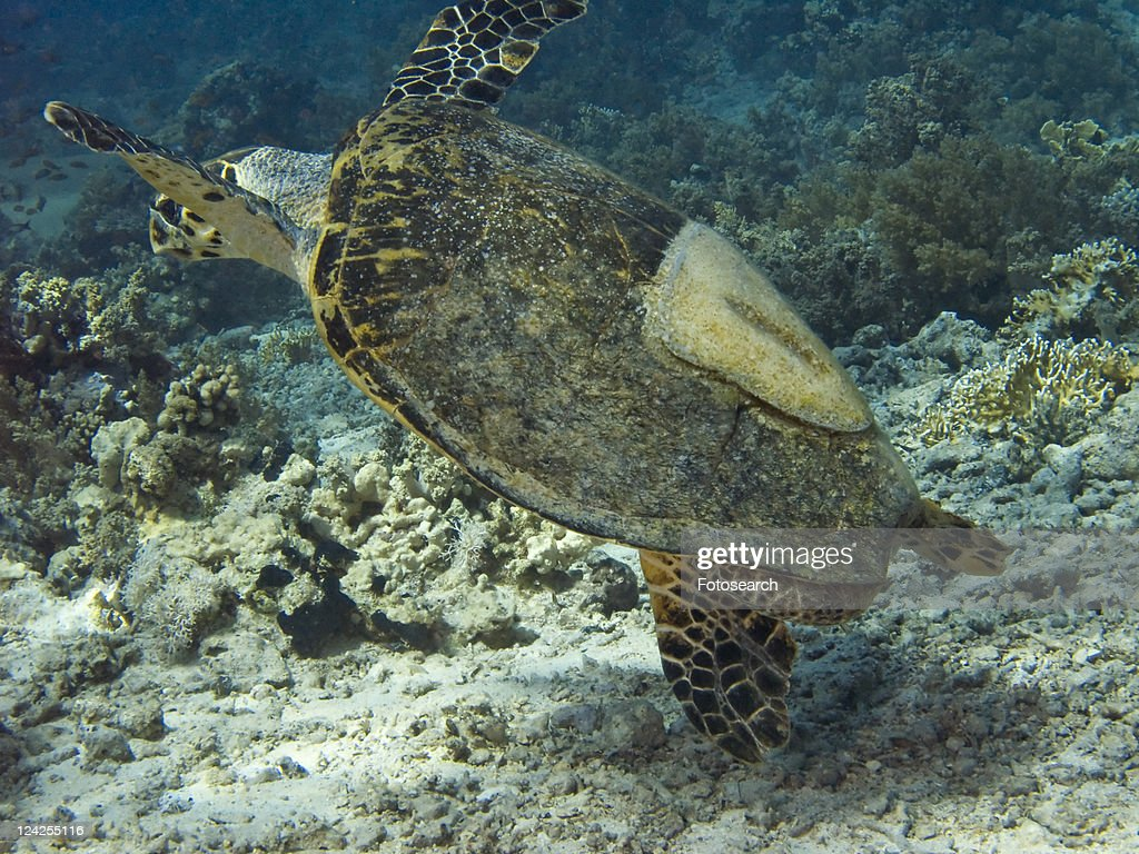 Dave The Famous Hawksbill Turtle From Sharm El Sheikh Rescued After