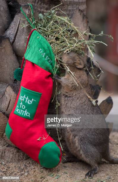 Davey the quoka is fed via a Christmas stocking with hay corn and his favourite peanut butter at Wild Life Sydney Zoo on December 21 2017 in Sydney...