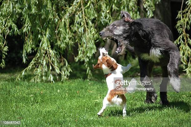 david and goliath - irischer wolfshund stock-fotos und bilder