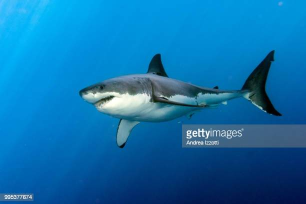 david and goliath - great white shark stock photos and pictures