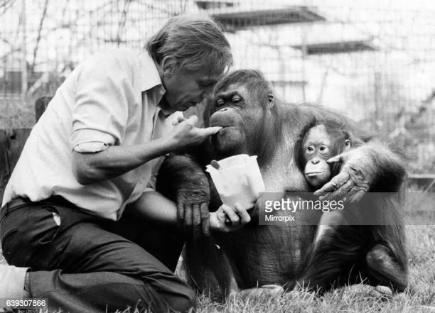 David Attenborough with orang utan and her baby at London Zoo April 1982