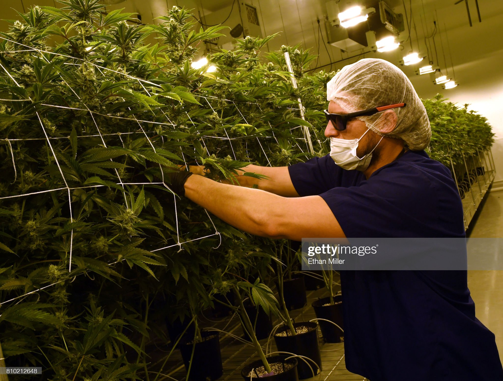 Marijuana Cultivation Center In Nevada Ramps Up Production As State Legalizes Recreation Use Of Weed : Fotografía de noticias
