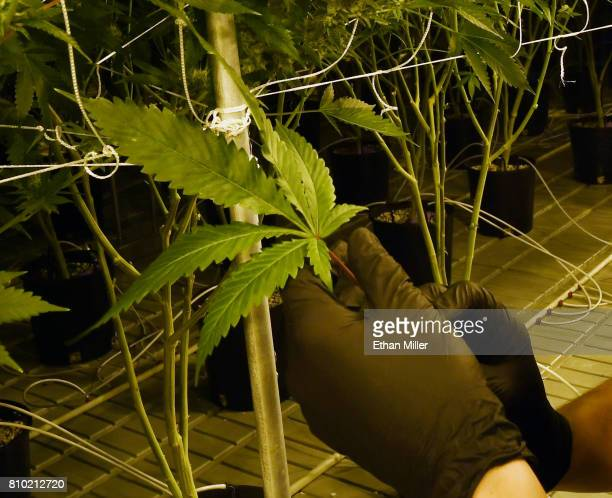David Burr demonstrates removing leaves on marijuana plants to allow more light for growth at Essence Vegas' 54000squarefoot marijuana cultivation...