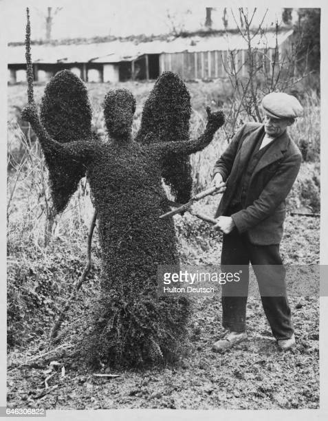 David Davies age 74 and an expert at topiary trims a Japanese honeysuckle into a topiary angel as a part of his Garden of Eden which includes such...