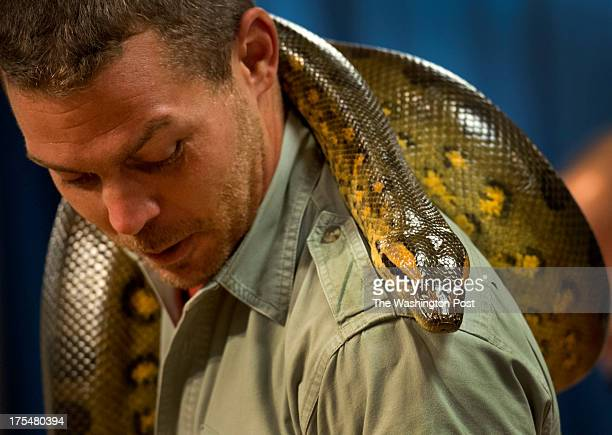 David Dean with Reptile World shows off 'Jade' a young Green Anaconda at the Prince George's County Library in Bowie MD on August 1 2013 Dean assists...