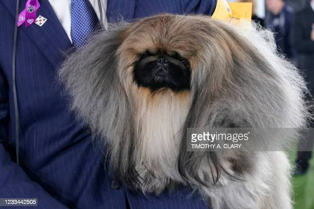 """David Fitzpatrick with his Pekingese """"Wasabi"""" are seen after winning Best in Show at the 145th Annual Westminster Kennel Club Dog Show June 13, 2021..."""