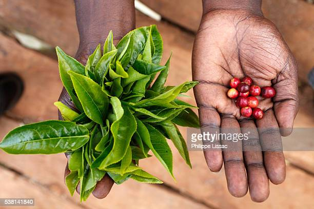 David Mucangi Mbogoh (showing tea leaves and coffee beans) runs a farm financed by a loan from BIMAS microcredit. He has been a client since 2002 and is currently servicing a loan of 1 million Kenyan shillings